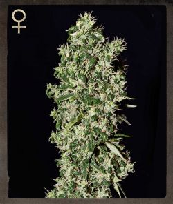 Strain Hunters Big Tooth female Seeds