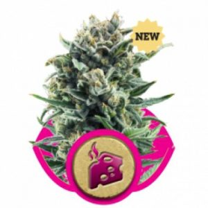 Royal Queen Seeds Blue Cheese female Seeds