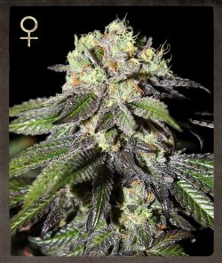 Strain Hunters Caboose female Seeds