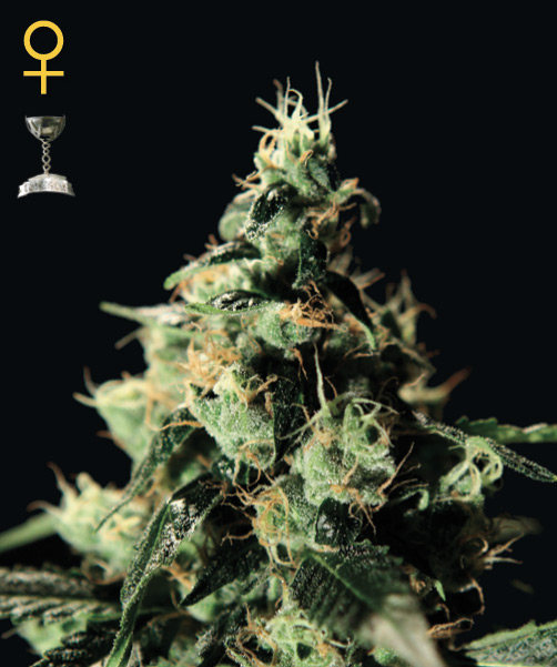 Greenhouse Seed Co. Chem Dog female Seeds