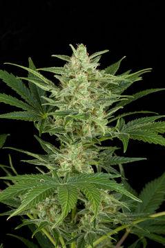 Dinafem Critical Jack Automatic female Seeds