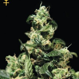 Greenhouse Seed Co. Damn Sour female Seeds
