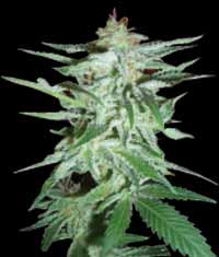World of Seeds Delirium female Seeds