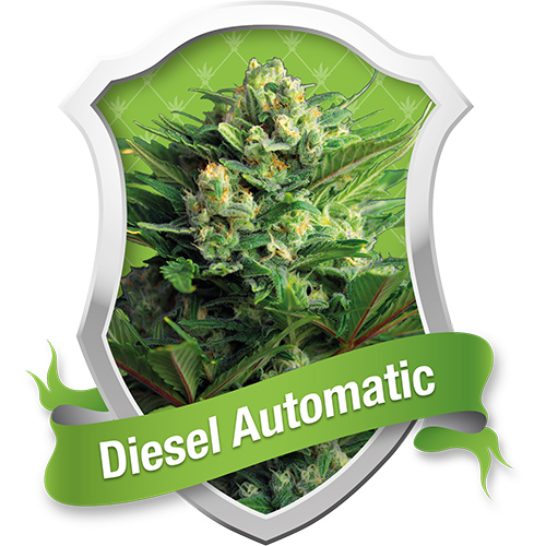 Royal Queen Seeds Diesel Automatic female Seeds