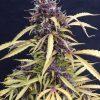 Joint Doctor Ogre Autoflowering female Seeds