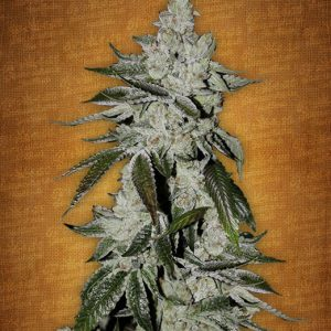 Fast Buds Girl scout cookies female seeds