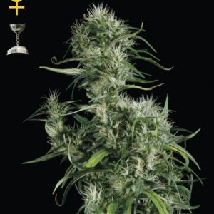 Female seeds company Neville's Haze female Seeds
