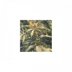 Nirvana Seeds Hawaii Maui Waui female Seeds