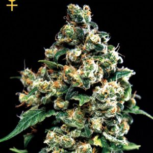 Greenhouse Seed Co. Jack Herer female Seeds
