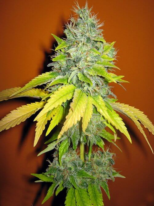 Seedsman Jack Herrer female
