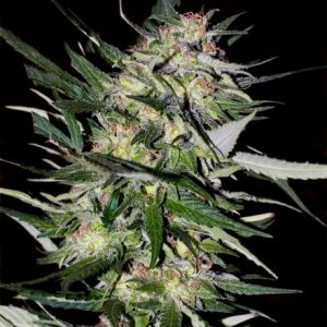 Advanced Seeds Jack Plant female seeds