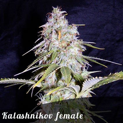 Bulk Seeds Kalashnikov female seeds