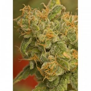 Nirvana Seeds Kaya Gold female Seeds