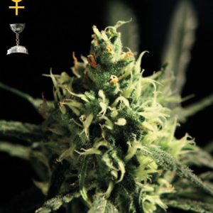 Greenhouse Seed Co. Lemon Skunk female Seeds