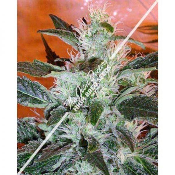 Joint Doctor Lowryder #2 Autoflowering female Seeds