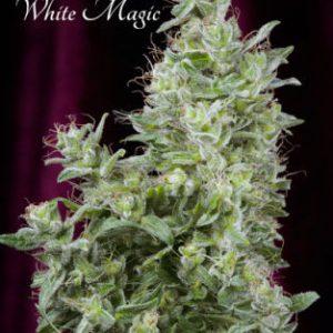 Mandala seeds White Magic female