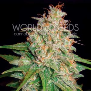 World of Seeds Mazar x White Rhino female Seeds