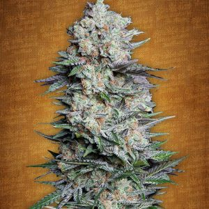 Fast Buds Mexican Airlines female seeds