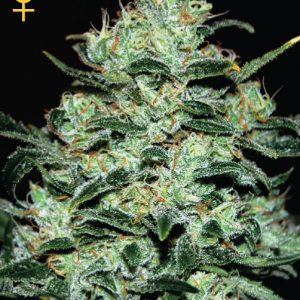 Greenhouse Seed Co. Moby Dick female Seeds