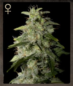 Strain Hunters White Strawberry Skunk female Seeds