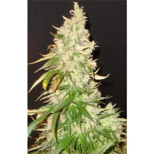 Seedsman Northern Soul female Seeds