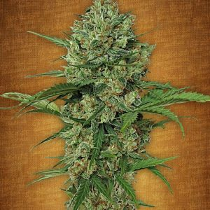 Fast Buds Northern Express female seeds
