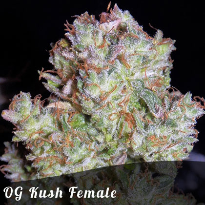 Discount Female Seeds OG Kush female seeds