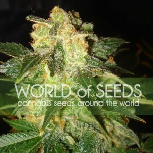 World of Seeds Pakistan Ryder Autoflowering female Seeds