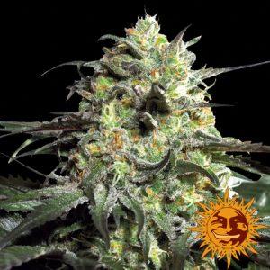 Barney's Farm Peyote Cookies female seeds