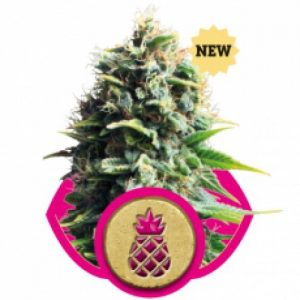 Royal Queen Seeds Pineapple Kush female Seeds