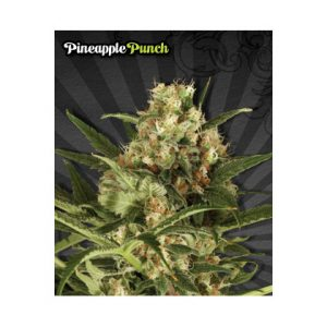 Auto Seeds Pineapple Punch