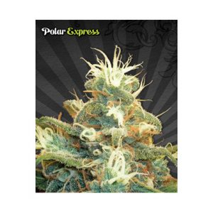 Auto Seeds Polar Express