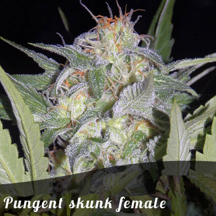 Discount Female Seeds Pungent skunk female seeds