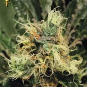 Greenhouse Seed Co. Pure Kush female Seeds