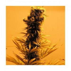 Nirvana Seeds Raspberry Cough female Seeds