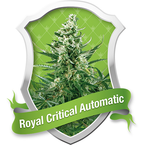Royal Queen Seeds Royal Critical Automatic female Seeds