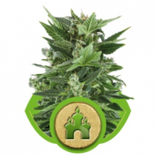 Royal Queen Seeds Royal Kush Automatic female Seeds