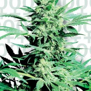 Sensi Seeds Shiva Skunk female Seeds