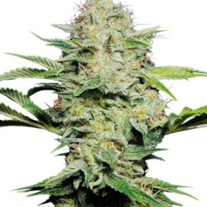 Sensi Seeds Sensi Skunk AUTO female Seeds