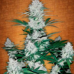 Fast Buds Six Shooter female seeds