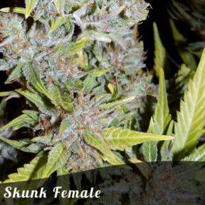 Bulk Seeds Skunk female seeds