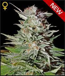 Greenhouse Seed Co. Super Lemon Haze AUTO female Seeds