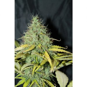 Seedsman Auto Skunk #1 female Seeds