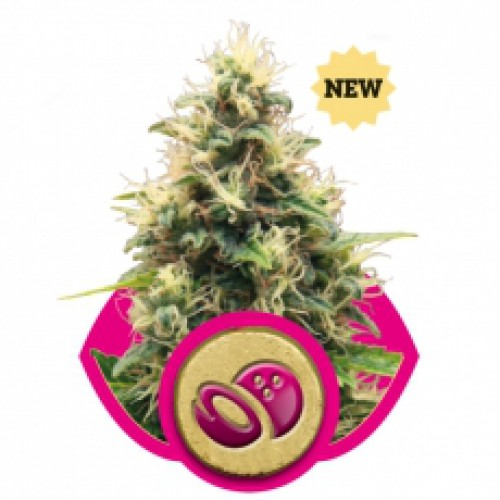 Royal Queen Seeds Somango XL female Seeds