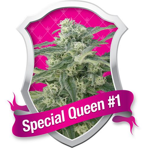 Royal Queen Seeds Special Queen #1 female Seeds