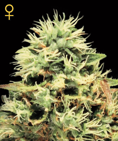 Greenhouse Seed Co. Super Bud female Seeds