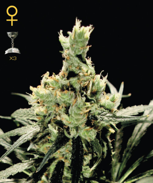 Greenhouse Seed Co. Super Lemon Haze female Seeds