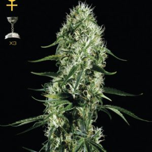 Greenhouse Seed Co. Super Silver Haze female Seeds