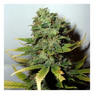 Sensi Seeds Super Skunk female Seeds