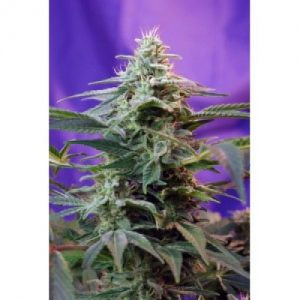 Sweet Seeds Sweet Special Auto female Seeds